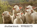 sheep and lambs on pasture | Shutterstock . vector #99983075