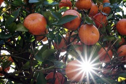 Shutterstock Photo by Shannon Carnevale, Sun shining through a clementine citrus tree in Florida