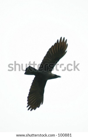 bird silhouette on white