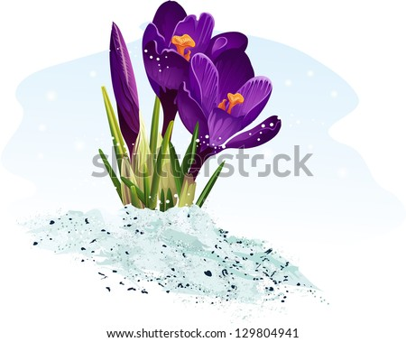 purple crocus on a blue