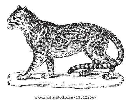 ocelot or dwarf leopard or