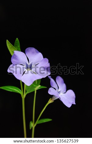 purple wild flower on a black