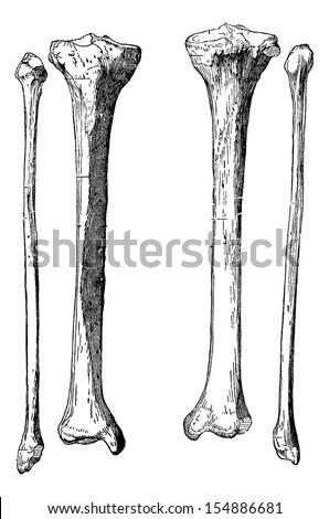 leg bones  tibia and fibula