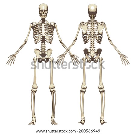 a human skeleton front and