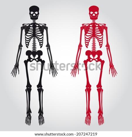 skeletons   human bones set
