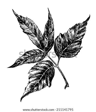 vector maple leaf ash leaf
