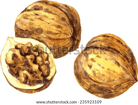 vector walnuts drawing by