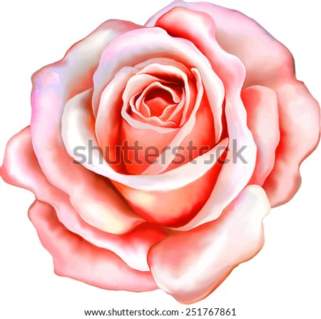 beautiful light pink red rose