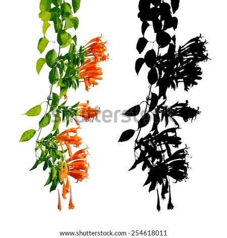 orange trumpet  flame flower