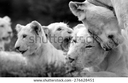 a free roaming wild white lion