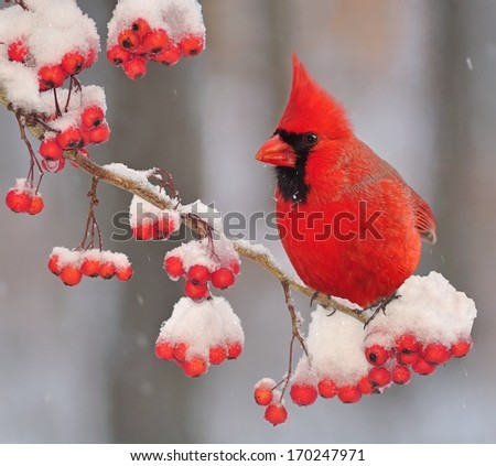 A beautiful male Northern Cardinal (Cardinalis cardinalis) on a snowy hawthorn branch laden with bright red berries. - stock photo