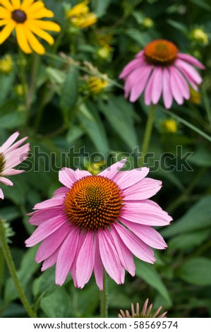 a beautiful purple coneflower in a garden, used as a herbal medicine and anti-depressant. - stock photo