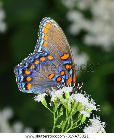 A beautiful Red- spotted Purple Butterfly at wild eupatorium flowers. - stock photo