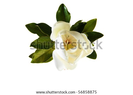 a beautiful white magnolia flower and leaves isolated on white - stock photo