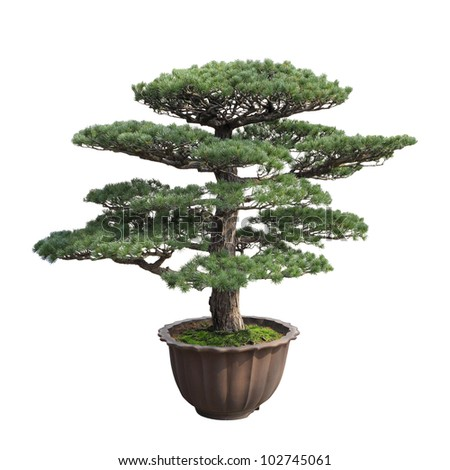 a big bonsai tree of pine with white background,general decoration in the traditional garden or park entrance - stock photo