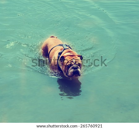 a bulldog in a pond toned with a retro vintage instagram filter toned with a retro vintage instagram filter effect app or action  - stock photo