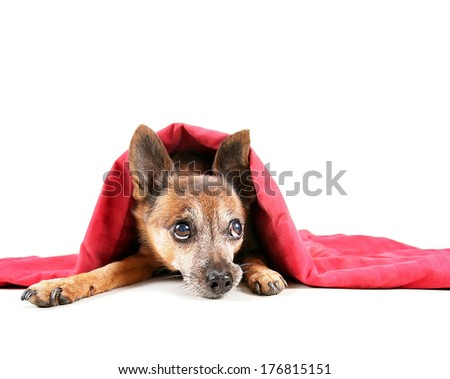 a chihuahua mix dog under a red blanket  - stock photo