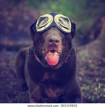 a chocolate labrador retriever posing for the camera during summer with goggles on with his tongue poking out toned with a retro vintage instagram filter app or action (SHALLOW DOF - on his nose) - stock photo
