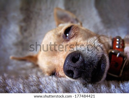 a close up of a chihuahua's face  - stock photo