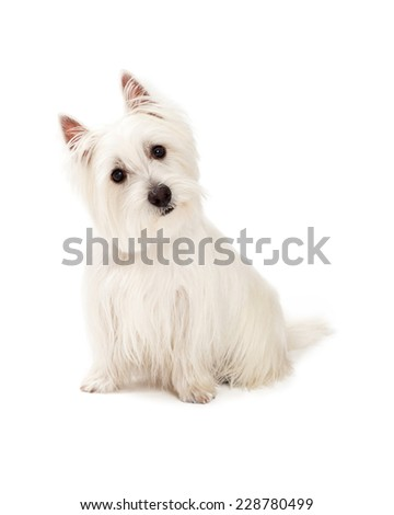 A curious West Highland Terrier Dog sitting while tilting it head.
