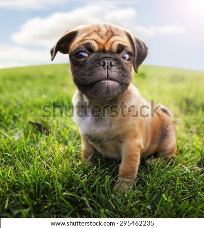 a cute baby pug chihuahua mix - chug at a local park or a backyard - wide angle lens (SHALLOW DOF - on the nose) toned with a retro vintage instagram filter app or action  - stock photo