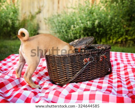 a cute baby pug chihuahua mix puppy looking into a wicker picnic basket and licking her face during summer maybe on the 4th of july holiday  - stock photo