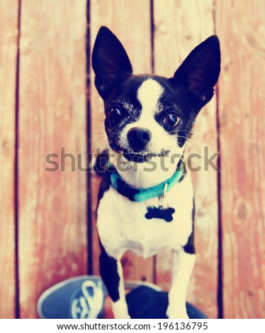 a cute chihuahua begging to be picked up  done with a vintage retro instagram filter - stock photo