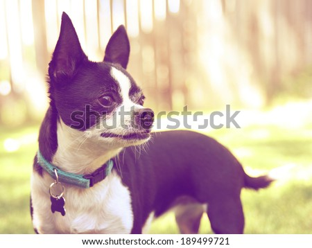 a cute chihuahua enjoying the outdoors done with a warm instragram like filter  - stock photo