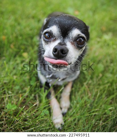 a cute chihuahua in the grass (focus on the nose - very shallow depth of field)  - stock photo