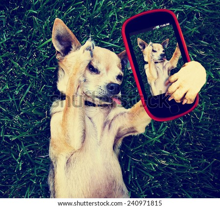 a cute chihuahua in the grass taking a selfie on a cell phone cell phone toned with a retro vintage instagram filter effect - stock photo