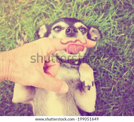 a cute chihuahua licking a mustache finger in front of him done with a retro vintage instagram filter  (from the mustache series) - stock photo