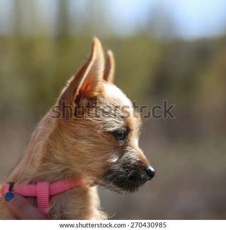 a cute chihuahua mix in the arms of a caring person during fall - stock photo