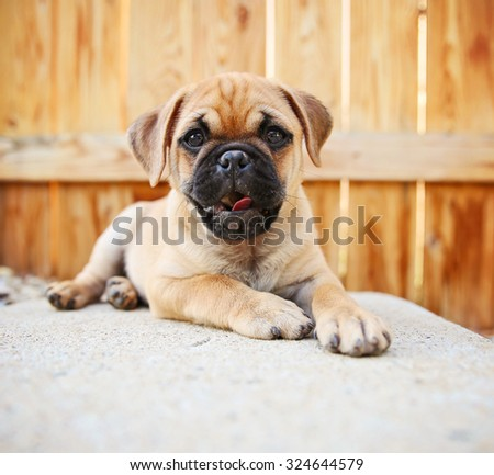 a cute chihuahua pug mix puppy (chug) looking at the camera with in front of a fenced in pool in a backyard during summer