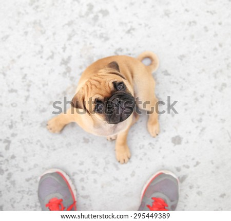 a cute chihuahua pug mix puppy (chug) sitting on concrete looking up at a person in a backyard during summer  - stock photo