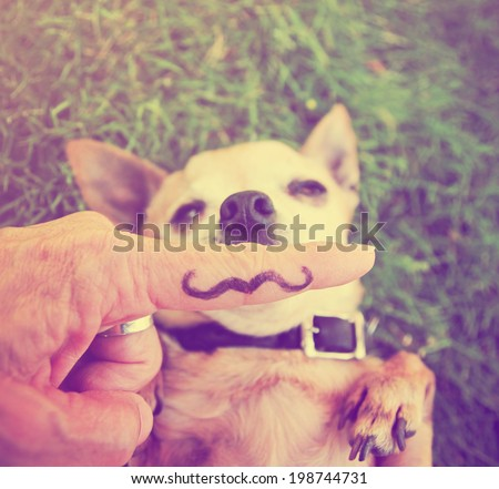 a cute chihuahua with a mustache finger in front of him done with a retro vintage instagram filter  (from the mustache series) - stock photo