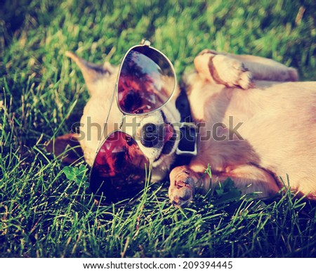 a cute chihuahua with aviator sunglasses on toned with a retro vintage instagram filter  - stock photo