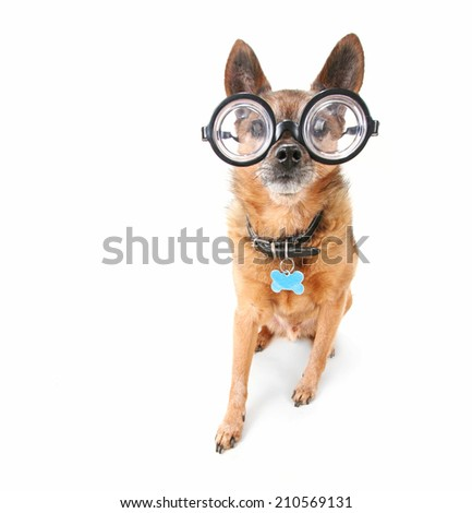 a cute chihuahua with glasses on an isolated white background - stock photo