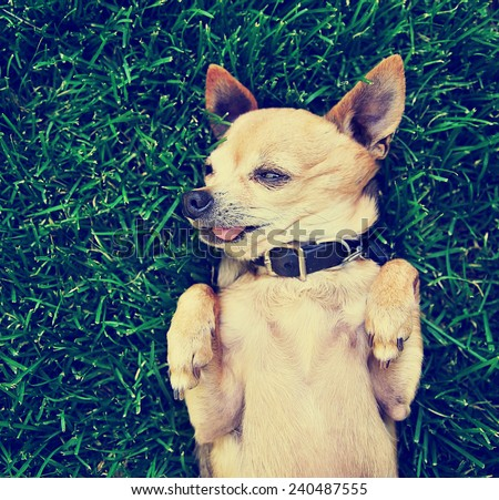 a cute chihuahua with his paws in the air on green grass toned with a retro instagram filter effect  - stock photo