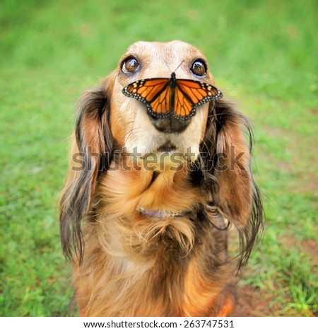 a cute dachshund at a local public park with a butterfly on his or her nose - stock photo