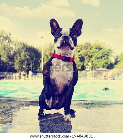 a cute dog at a local public pool done with a retro vintage instagram filter  - stock photo