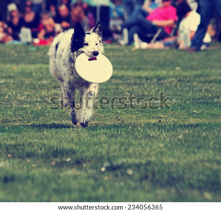 a cute dog in the grass at a park during summer playing with a flying disc toy - stock photo
