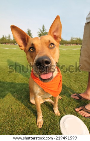 a cute dog in the grass at a park during summer smiling at the camera - stock photo
