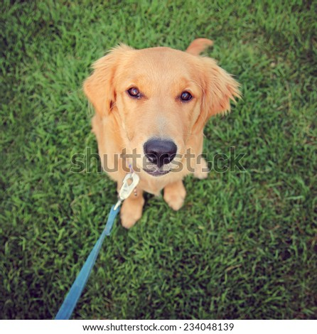 a cute golden retriever sitting in green grass outside on a leash toned with a retro vintage instagram filter  - stock photo
