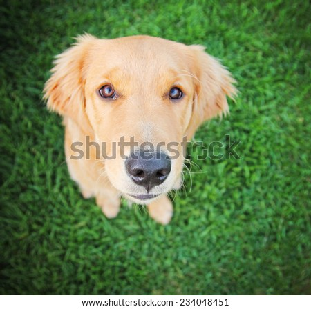 a cute golden retriever sitting in green grass outside toned with a retro vintage instagram filter  - stock photo
