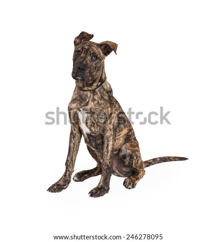 A cute Great Dane And Boxer Mixed Breed puppy dog sitting while looking forward.  - stock photo