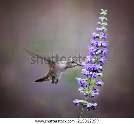 a cute hummingbird hovering at a flower to drink nectar  - stock photo