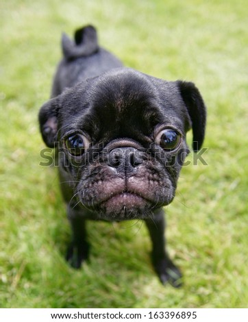 a cute pug at a local park  - stock photo