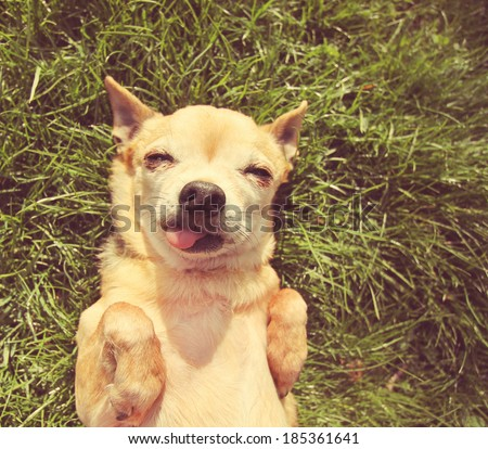 a cute tiny chihuahua in the grass done with a vintage retro instagram filter   - stock photo