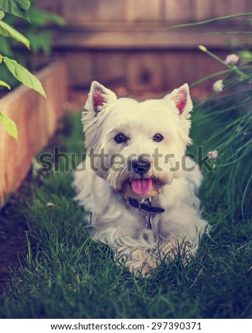 a cute westie - west highland terrier - at a local park or backyard toned with a retro vintage instagram filter app or action effect - stock photo
