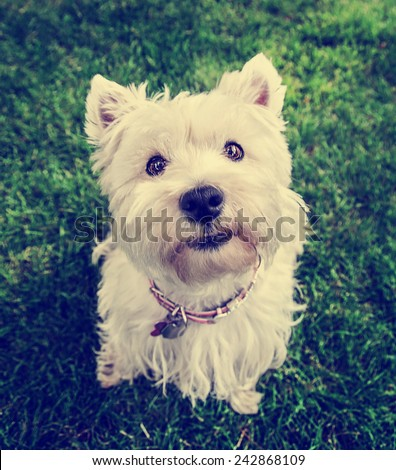 a cute westie - west highland terrier - at a local park or backyard toned with a vintage retro instagram filter effect - stock photo